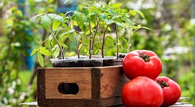 Когда сажать помидоры на рассаду в 2021 году по лунному календарю в сибири: таблица