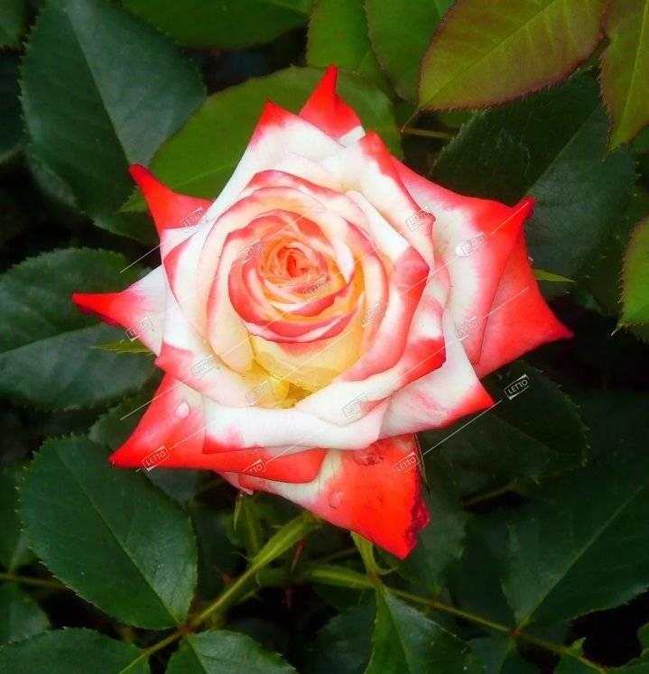 Роза императрица фарах: история появление, описание розы императрица фарах