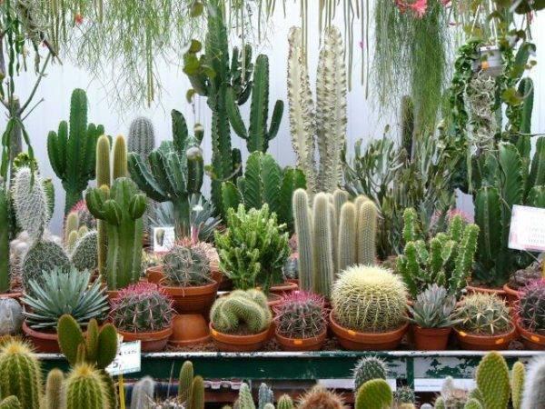 Виды кактусов для разведения в домашних условиях: фото, примеры, уход