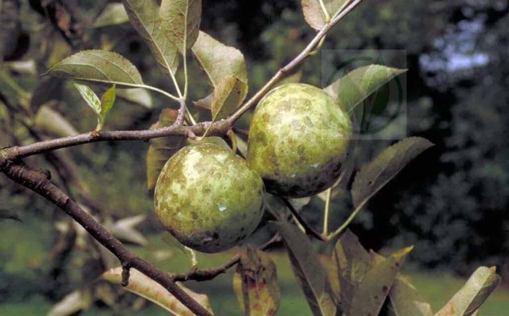 Борьба с грибком на яблоне
