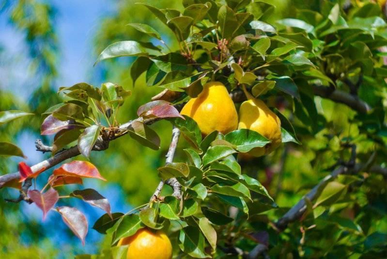 Как правильно посадить грушу весной и осенью