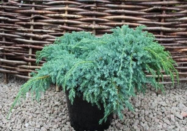 Особенности выращивания чешуйчатого можжевельника «блю карпет» на даче