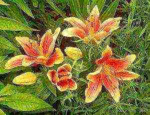 Цветок лилия (фото) - сорта, посадка и уход, размножение и свойства