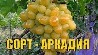 Виноград аркадия: описание сорта, характеристики, посадка и уход