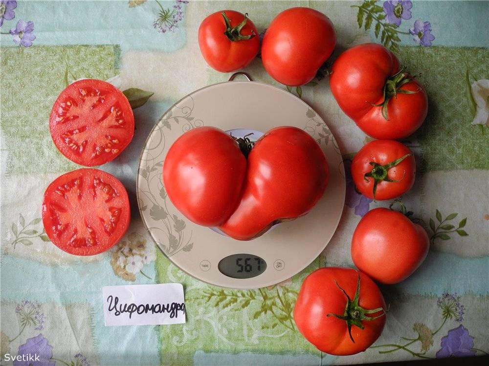 Томат цифомандра: отзывы, фото, урожайность, описание и характеристика | tomatland.ru