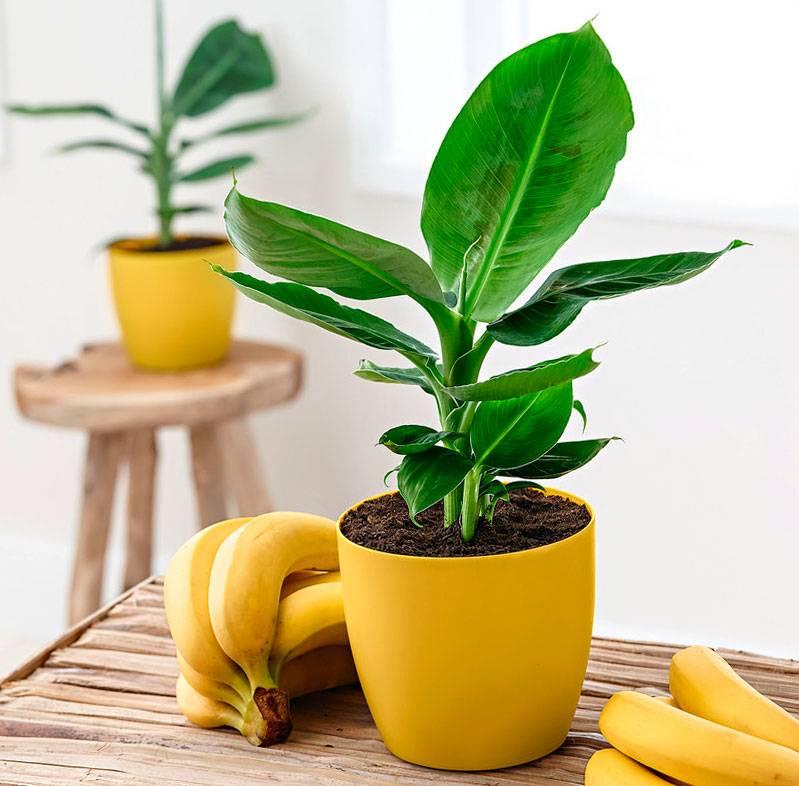 Банан комнатный -выращивание дома   садоводство и огородничество