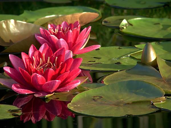 Декорирование прудов растениями: учитываем сроки цветения, особенности произрастания, цветовую гамму