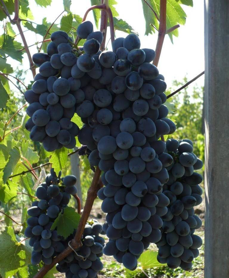 Описание винограда сорта чарли