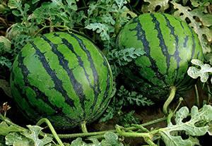 Как сажать арбузы рассадой и семенами в открытый грунт: схемы и правила посадки
