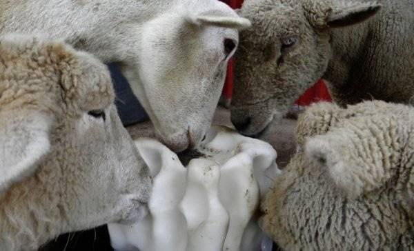 Чем кормить овец и баранов – виды и нормы корма, подробный рацион