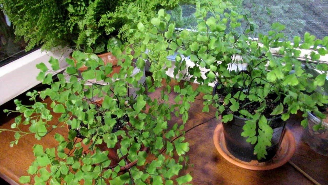 Адиантум (adiántum) или венерин волос. уход, размножение в домашних условиях.   floplants. о комнатных растениях