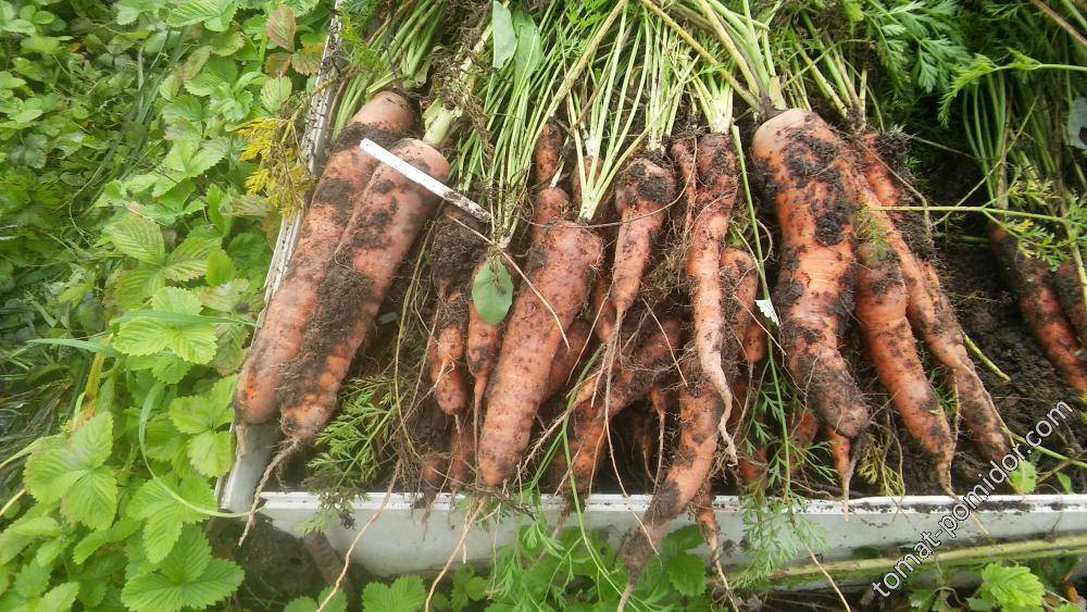 Морковь бангор f1: описание, фото, отзывы - растения и огород