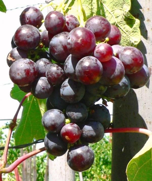 Виноград рошфор: описание сорта, фото, болезни и вредители selo.guru — интернет портал о сельском хозяйстве