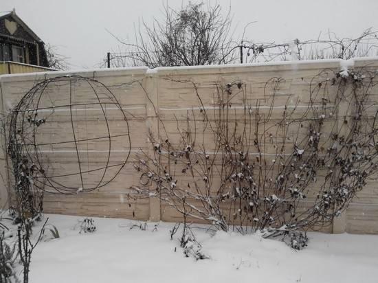 Подготовка и укрытие клематисов на зиму