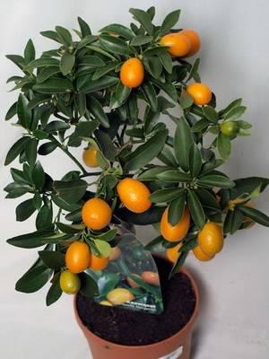 Цитрусовые комнатные растения — уход в домашних условиях - pocvetam.ru