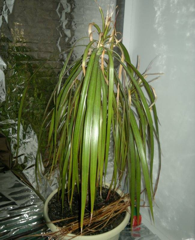 Опадают листья у драцены: что делать, если растение сбрасывает листья? по каким причинам листья сохнут? как спасти драцену?