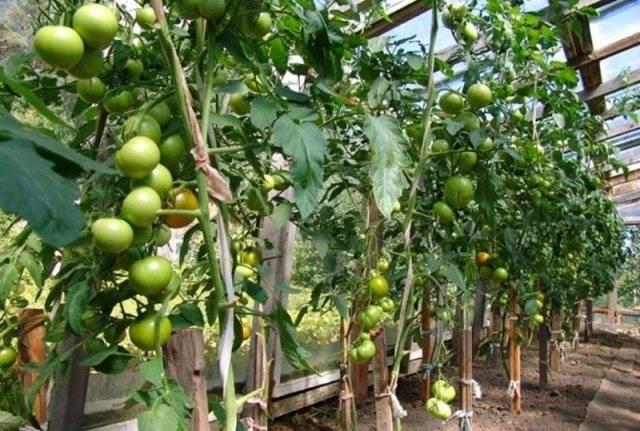 Как пасынковать помидоры в открытом грунте