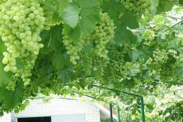 Характеристика белого московского винограда