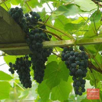 """Описание сорта винограда """"кишмиш потапенко черный """": особенности ухода"""