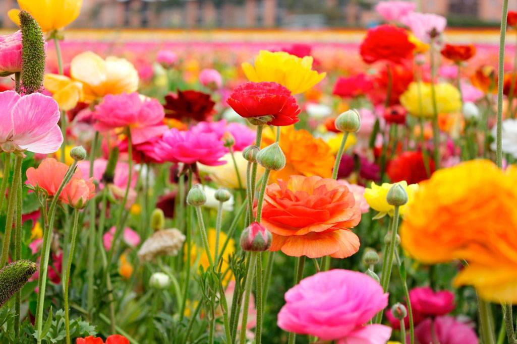 Ранункулюс посадка и уход в открытом грунте и домашних условиях фото цветов