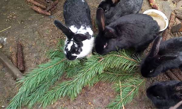 Чем кормить кроликов или правильный рацион как основа успеха