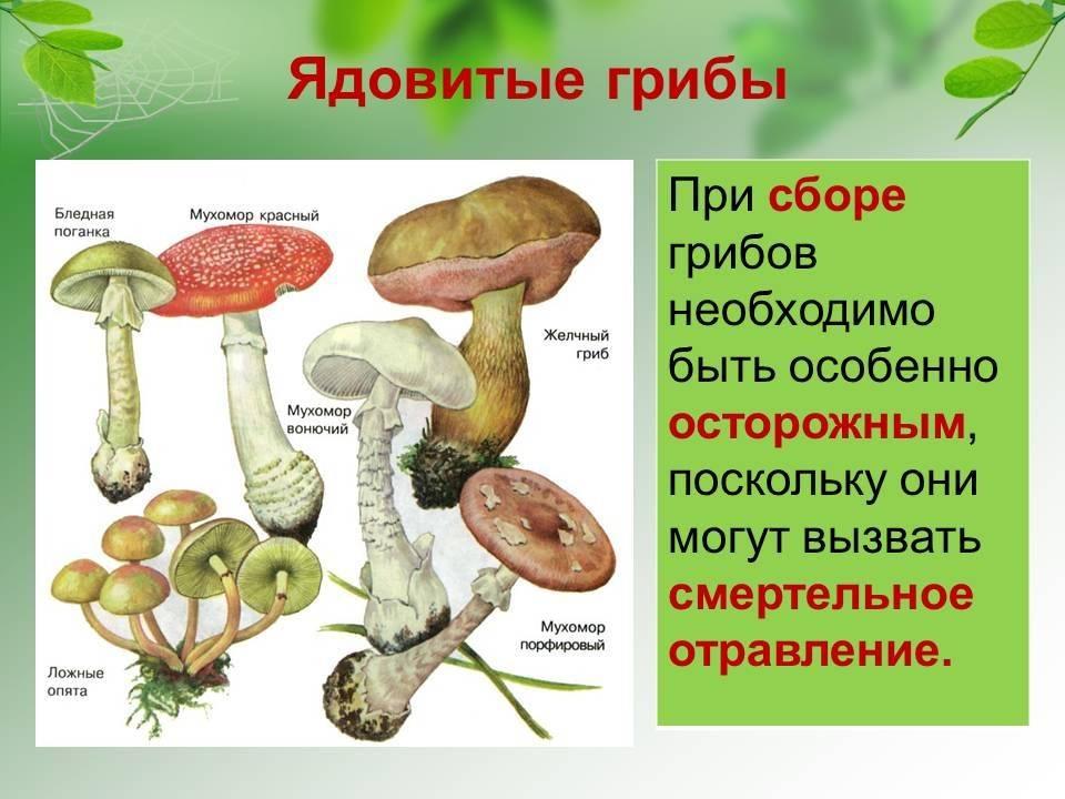 Виды грибов и их характеристика