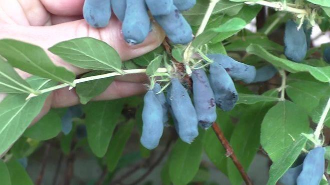 Жимолость голубое веретено описание сорта фото отзывы