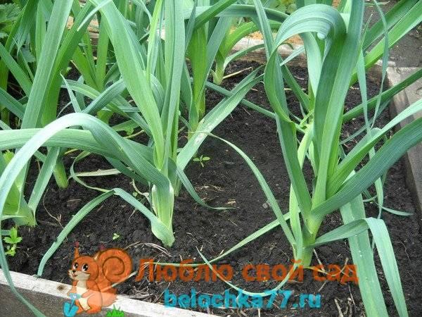 Лук-порей: выращивание и уход от посева семян до сбора урожая