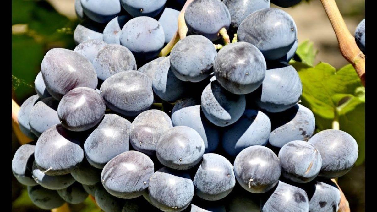 Виноград «руслан»: описание сорта, фото, отзывы, видео