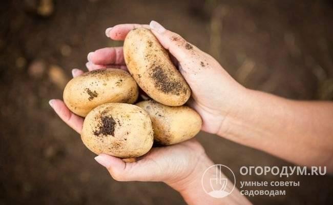 Картофель коломбо: отзывы, кто сажал, секреты посадки сорта с фото
