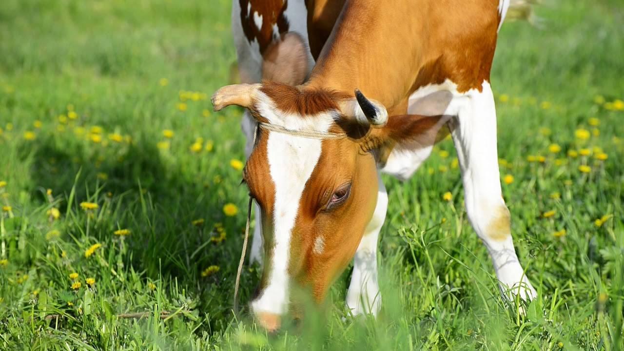 Сухостойный период: что это и сколько длится у коров, подготовка и правила