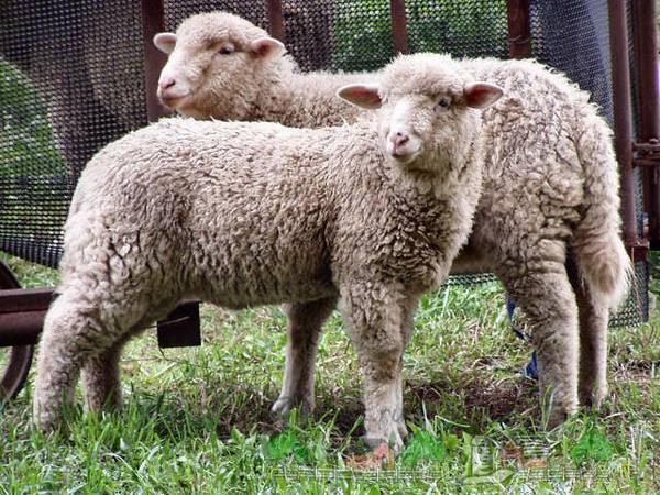 Случка и окот у овец, определение беременности