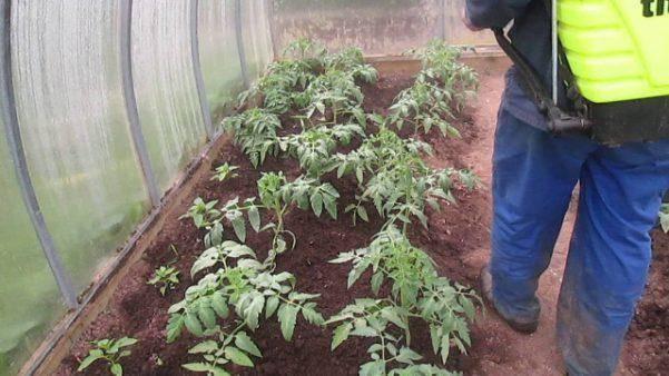 Как полить помидоры нашатырным спиртом: можно ли поливать аммиаком при цветении, а также как правильно  его развести и соблюсти пропорции