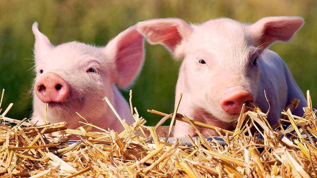 Африканская чума свиней | управление роспотребнадзора по карачаево-черкесской республике