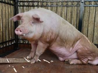 Свиньи ?: сколько живут лет в домашних условиях, общая продолжительность жизни и как увеличить срок жизни