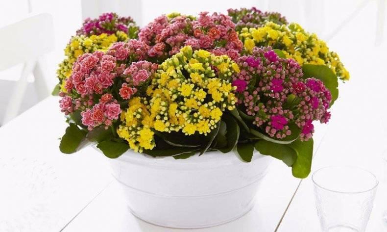 Секреты успешно выращивания каланхоэ мангина в домашних условиях
