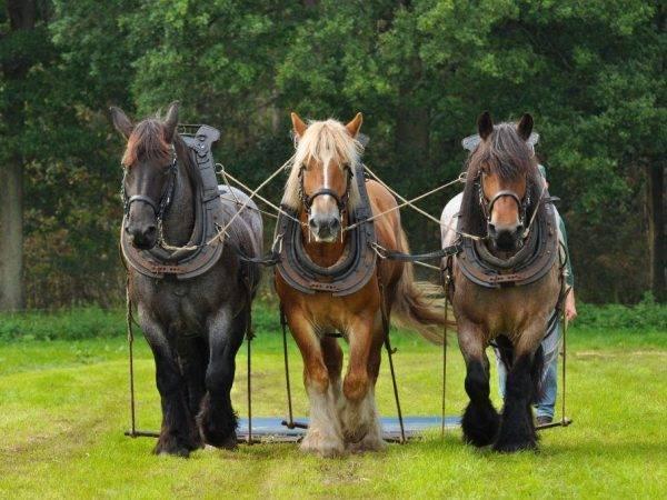 Лошади тяжеловозы. тяжеловозные породы лошадей.