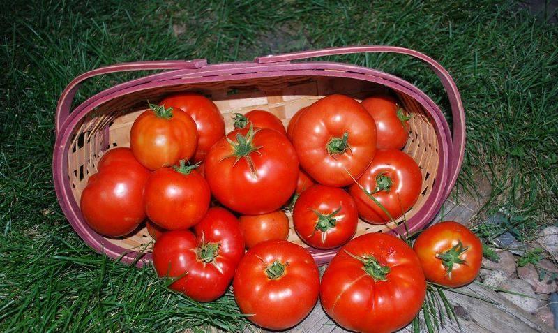 "Томат ""биг биф f1"": характеристика и описание гибрида голландских помидор, отзывы об урожайности, фото куста"