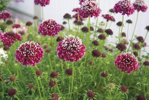 Цветок скабиоза японская многолетняя: выращивание