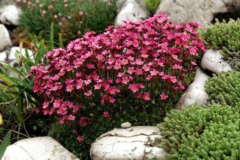 Растение камнеломка садовая: названия видов и сортов с фото, видео посадки и ухода за цветком