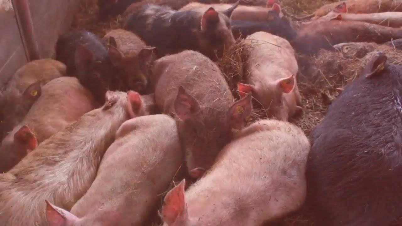 Как сделать ферментационную подстилку для свинарника