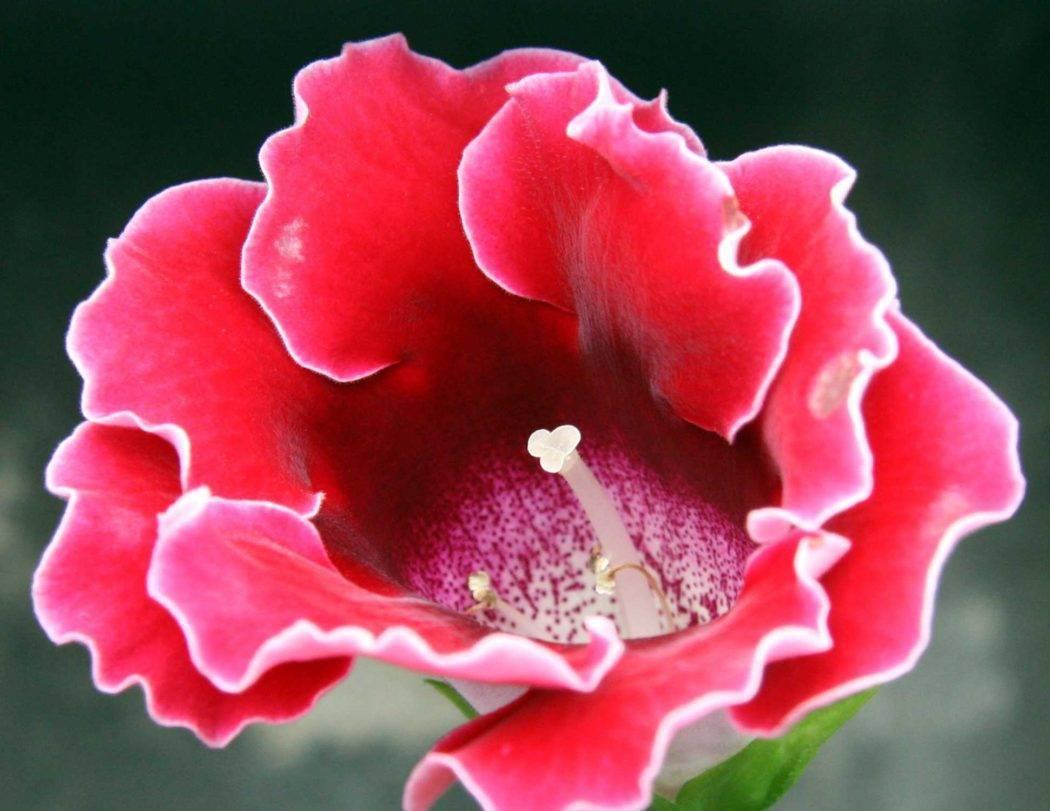 Все секреты выращивания глоксинии или синнингии в квартире: фото, сорта, мастер-класс