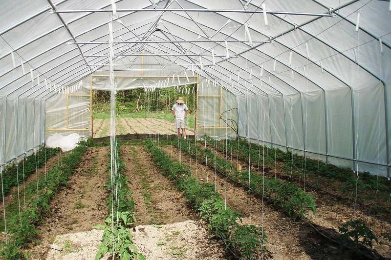 Выращивание помидоров в теплице из поликарбоната, рассада, уход, видео