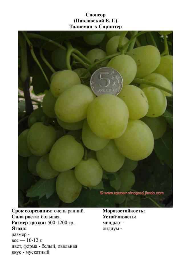 Виноград спонсор описание сорта фото отзывы видео
