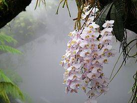 Что такое фаленопсис: где находится родина орхидеи и что это за цветок?
