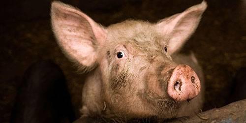 К чему снится свинья. видеть во сне свинья - сонник дома солнца