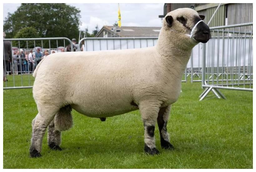 Овцы породы суффолк — красавцы однако!