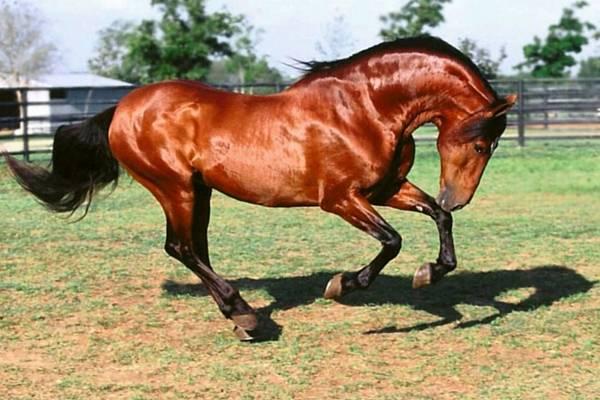 Андалузская лошадь: как она выглядит и как за ней правильно ухаживать?