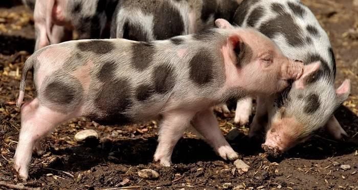 Случка свиней: все тонкости успешного разведения