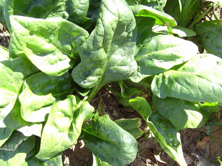 Шпинат земляничный выращивание из семян: уход, отзывы, фото и видео